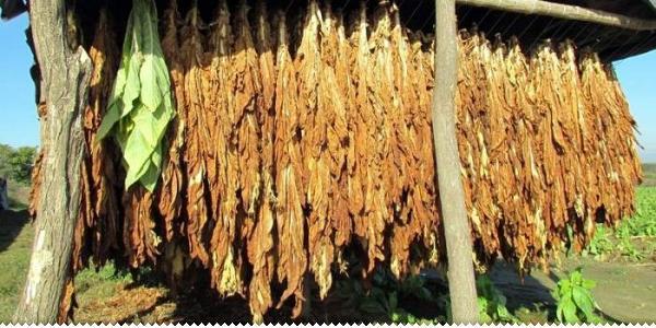 DUHAN (Nicotiana tabacum L.)