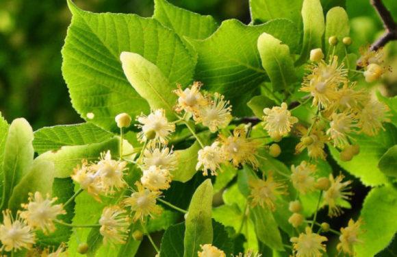 LIPA(Tilia Cordata,Tilia Platyphyllos)