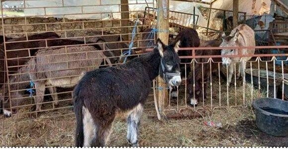 Ljekovito magareće mlijeko iz Gruda kupuju i Švicarci, Francuzi, Šveđani