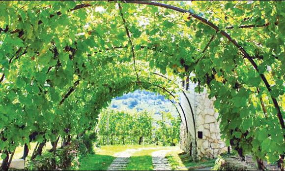 VINOVA LOZA (Vitis vinifera)