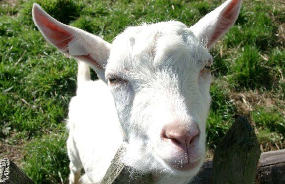Kozje mlijeko – zaboravljeno blago hercegovačkih pašnjaka