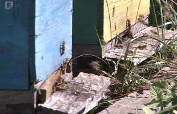 Razočarani pčelari juga Hercegovine prodaju košnice, pčele ostale bez zimnice
